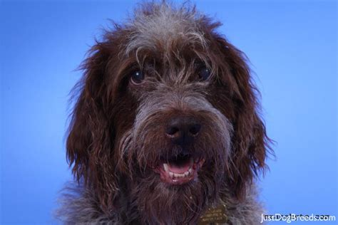 wirehaired pointing griffon non shedding large breed wire haired breeds picture