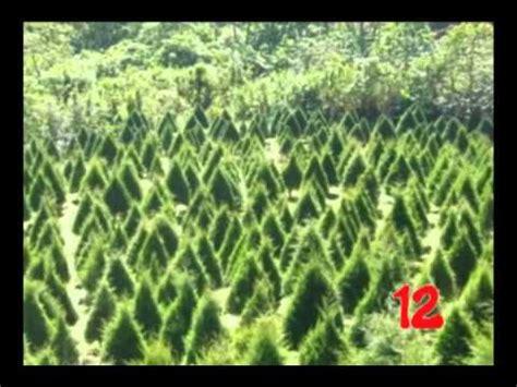 cuechando arboles de navidad naturales youtube