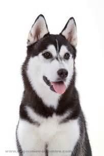 Siberian Husky Female Dog Names