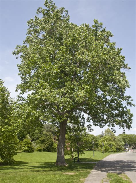 tulip trees tulip tree clippix etc educational photos for students and teachers