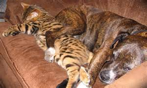 bengal cat grown when are bengal cats grown about animals