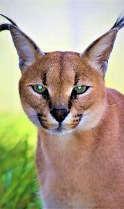 Caracal   Jukani Wildlife Sanctuary, Plettenberg Bay ...