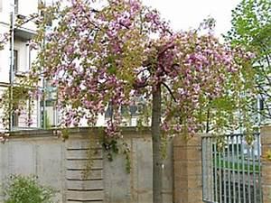 Sakura Baum Kaufen : zierkirsche ~ Frokenaadalensverden.com Haus und Dekorationen