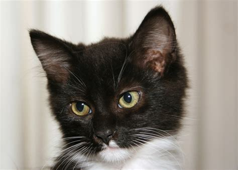 Wishe The Tuxedo Kitten Today