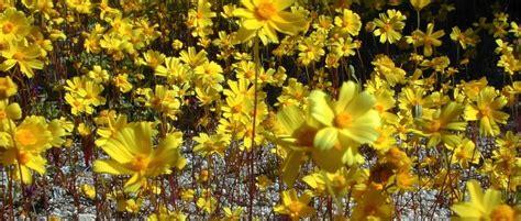flores amarillas aladiernos imagenes  fotos