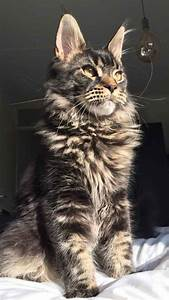 The Tabby Maine Coon - Maine Coon Expert