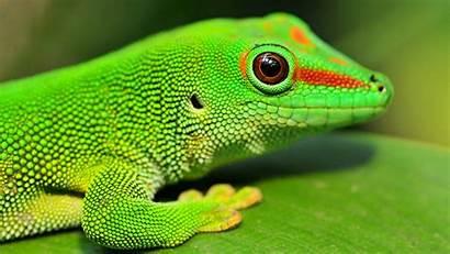 Gecko Wallpapers