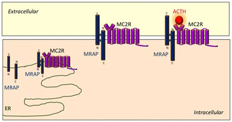frontiers the melanocortin receptors and their accessory