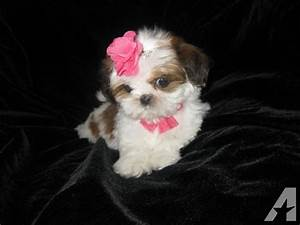 All White Shih Tzu Puppy Brown Pictures to Pin on ...