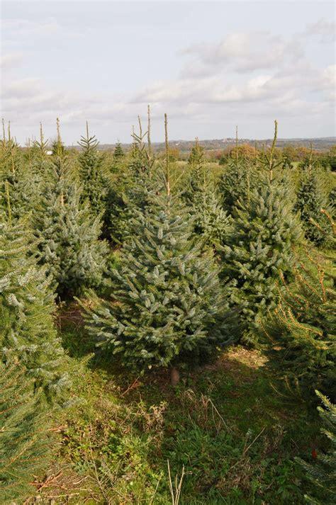 christmas trees for sale near me freshly cut blue spruce send me a tree