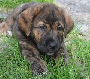 Spanish Mastiff Info Puppies Training Pictures Temperament