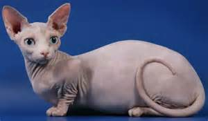 bambino cat bambino cat info personality kittens pictures