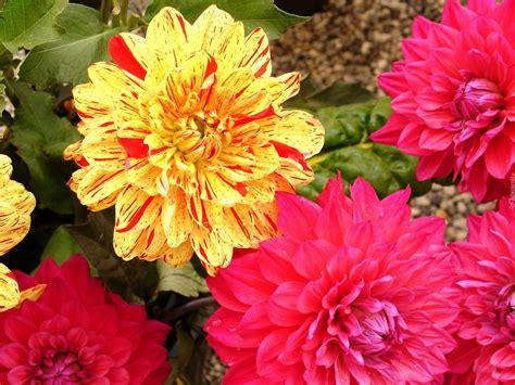 Sommerblumen Mehrjährig Winterhart by Kolorowe Dalie