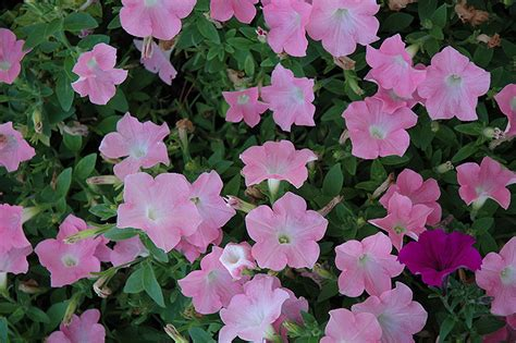 easy wave petunias easy wave shell pink petunia petunia easy wave shell pink in winnipeg headingley oak bluff