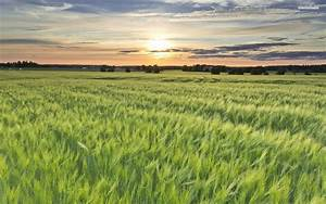 Amazing Green Wheat Field wallpapers | Amazing Green Wheat ...