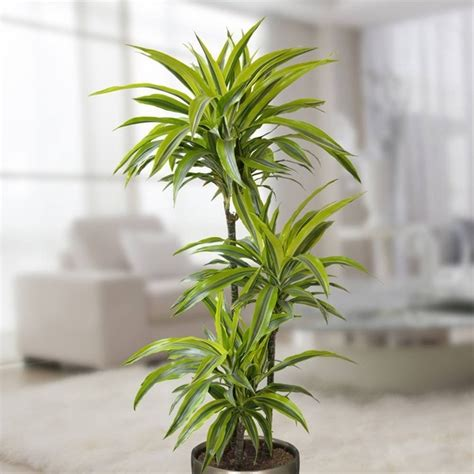 Best Plant For Bathroom Australia by Best Plants For Bathrooms 20 Indoor Plants For The Bathroom