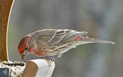 male house finch enjoying safflower seeds feederwatch