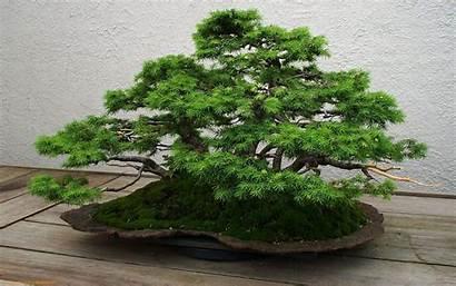 Tree Bonsai Wallpapers Mrwallpaper Cave Fresh