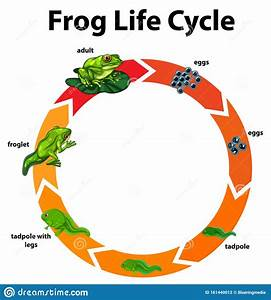 Diagram Showing Life Cycle Of Frog Stock Vector