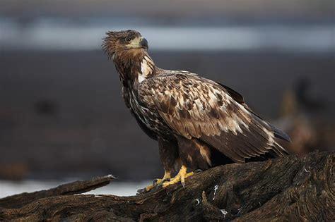 Jūras Ērglis -Latvijā lielākais savvaļas plēsīgais putns ...
