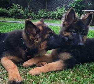 German Shepherd puppies | Animals | Pinterest | Puppys ...