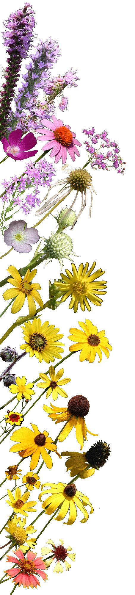 wildflowers north louisiana species