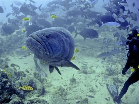 queensland grouper largest giant rarely seen bony dwelling