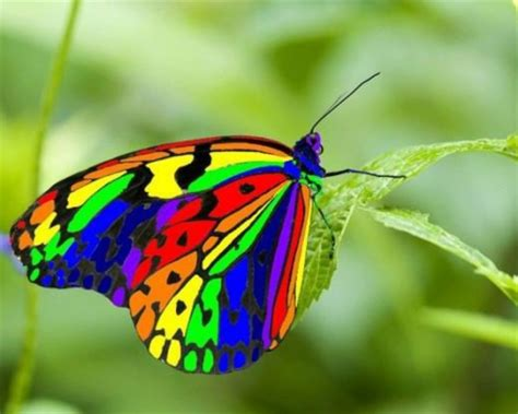 Rainbow Animal Wallpaper - rainbow butterfly butterflies animals background
