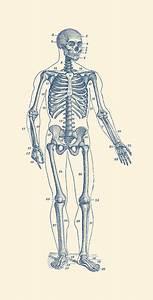Forward Facing Skeletal Diagram