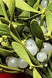 Mistletoe Leaf Extract - Phyt's USA