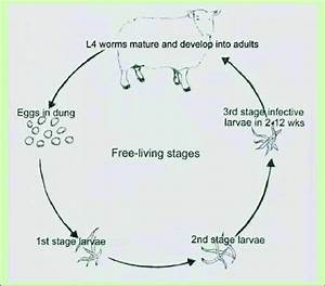 1  The Basic Life Cycle Of The Nematode Parasites Of Sheep