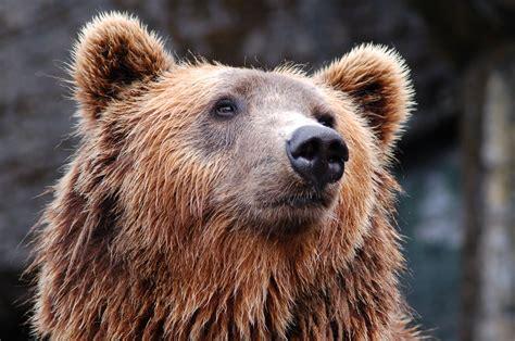 Free Stock Photo Of Animal, Bear, Brown Bear