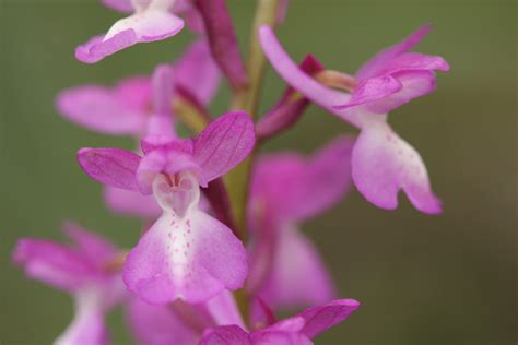 File:Orchis langei.jpg - Wikimedia Commons