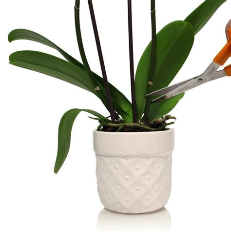 caring for phalaenopsis orchids after flowering can my phalaenopsis orchid rebloom spikes flower and what to do
