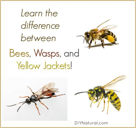 learn  difference  bees wasps  yellow jackets