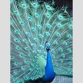 Peacock   Birds...