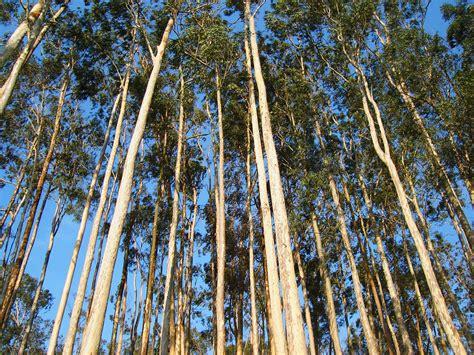 Fileeucalyptus Spjpg