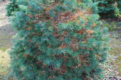 possible causes of interior needle shedding and trunk splitting of fraser fir msu extension - Christmas Tree Shedding Needles