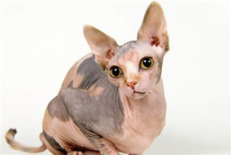 In march, we completed the. O gato Sphynx - A primeira raça de gato sem pêlo ...