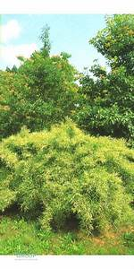 Bambus Pflege Zimmerpflanze : pleioblastus chino elegantissimus pflanzen ~ Michelbontemps.com Haus und Dekorationen