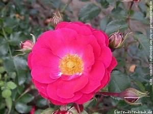 Wann Schneidet Man Rosen : bodendeckerrosen schneiden sp te bodendeckerrosen bl te ~ Lizthompson.info Haus und Dekorationen