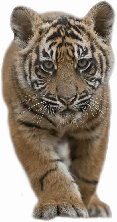 Tiger Transparent Cub Stalking Animals Clipart Tigre