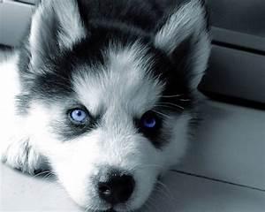 White Siberian Husky Dog Blue Eyes - Golfian.com