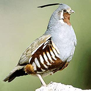 mountain quail ultimate upland