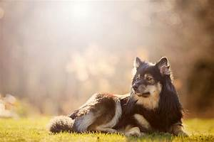 Pics For > Finnish Lapphund Tequila