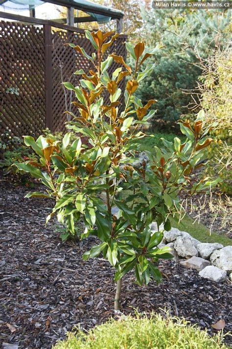 magnolia grandiflora kay parris havliscz