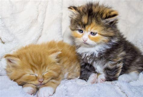 kleine maine coon katzen babys foto bild tiere