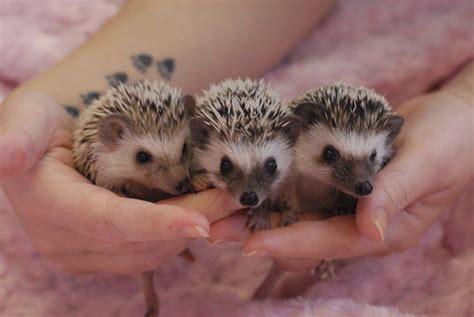 Janda Exotics  Tame Baby Hedgehogs For Sale Usda