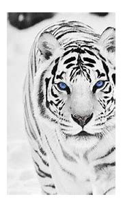 Snow Tiger Wallpapers - Top Free Snow Tiger Backgrounds ...