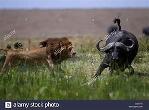 Male, Lion, Panthera, Leo, In, Confrontation, Cape, Buffalo